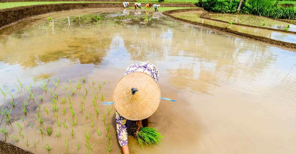 An old woman planting rice in a rice field.